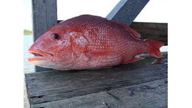 39-day weekends-only recreational red snapper season