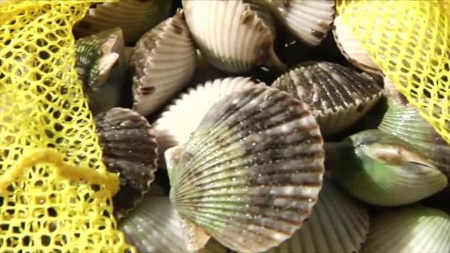 Gulf County Scallop Season to Open This Weekend